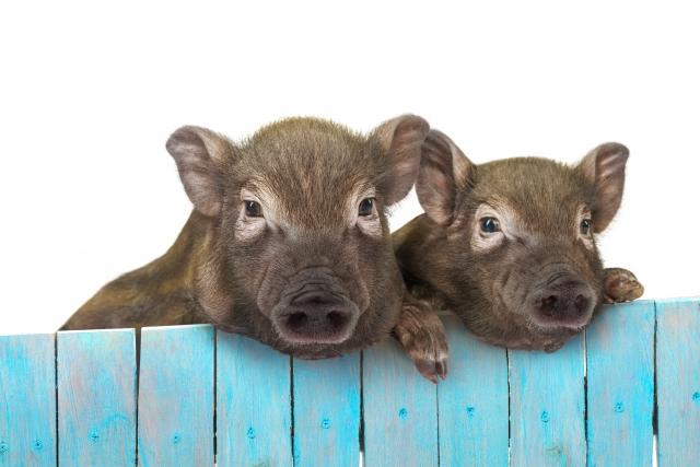 イノシシのニュースを見てて爆笑しちゃいました|猪突猛進ニュース